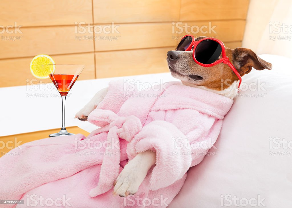 jack russell dog relaxing and lying, in spa wellness center ,wearing...