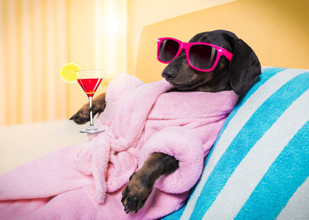 dog spa wellness salon cool funny  sausage  dachshund dog resting and relaxing in   spa wellness salon center ,wearing a  pink bathrobe and fancy sunglasses, with martini cocktail diva human role stock pictures, royalty-free photos & images