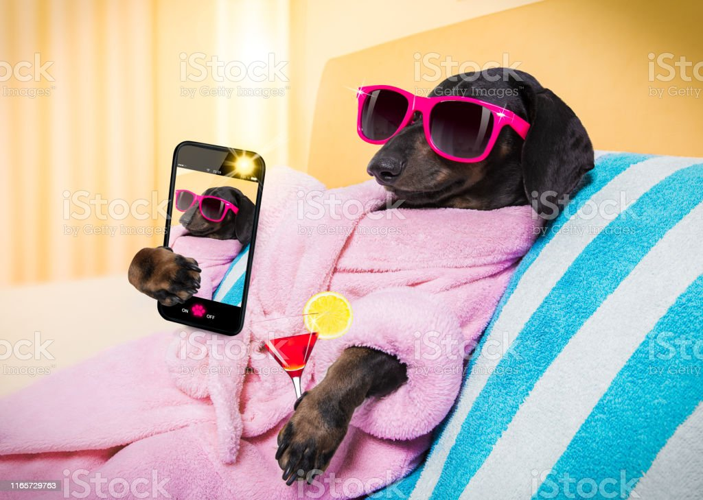 cool funny sausage dachshund dog resting and relaxing in spa wellness...