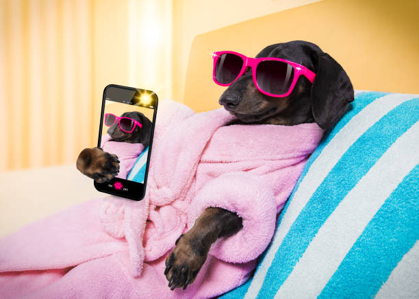 dog spa wellness salon cool funny  sausage  dachshund dog resting and relaxing in   spa wellness salon center ,wearing a  pink bathrobe and fancy sunglasses, with martini cocktail, taking a selfie with smartphone telephone phone diva human role stock pictures, royalty-free photos & images