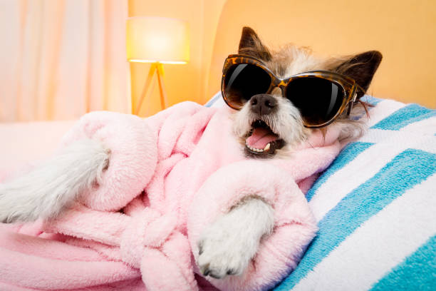 dog spa wellness salon cool funny  poodle dog resting and relaxing in   spa wellness salon center ,wearing a  pink  bathrobe and fancy sunglasses diva human role stock pictures, royalty-free photos & images