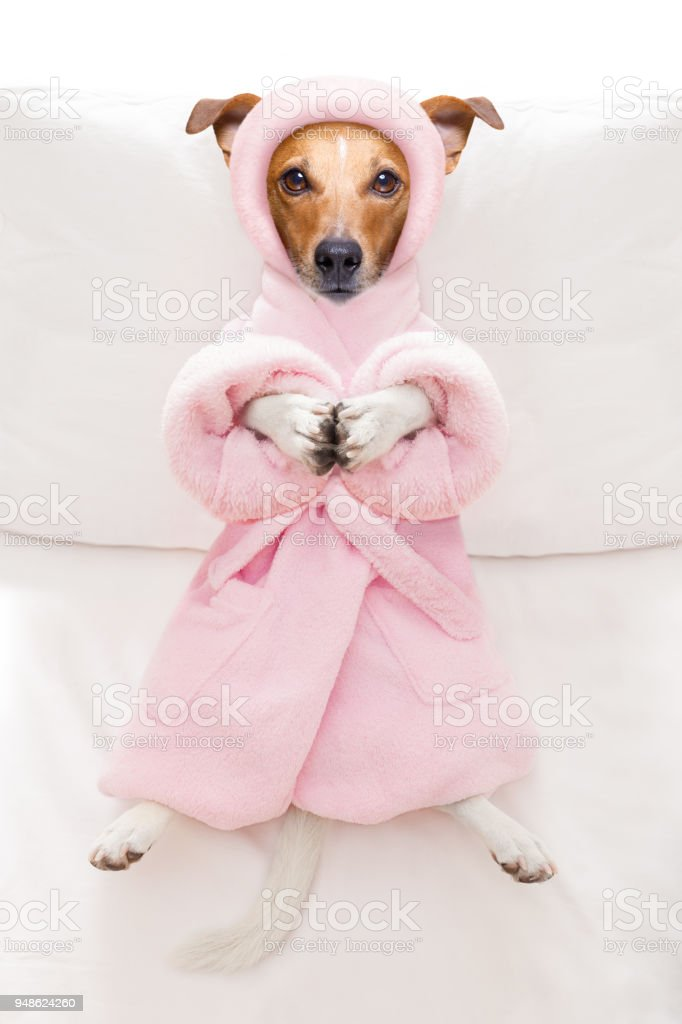 cool funny jack russell dog resting and relaxing in spa wellness...