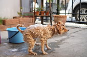 Dog spin cycle, pomeranian or small dog breed shake off to dry its fur between was taken shower by owner
