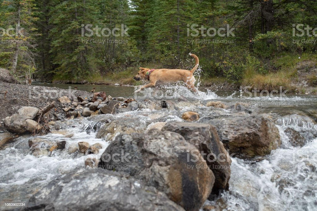 Dog splashing across the top of a waterfall stock photo