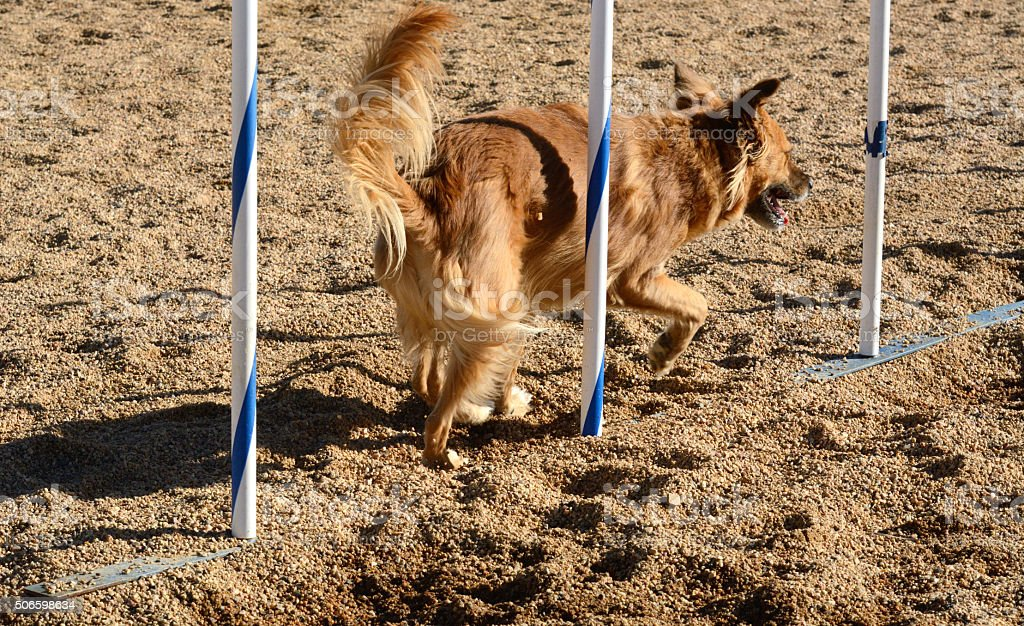 Mixed breed dog weaving through weave poles in dog agility