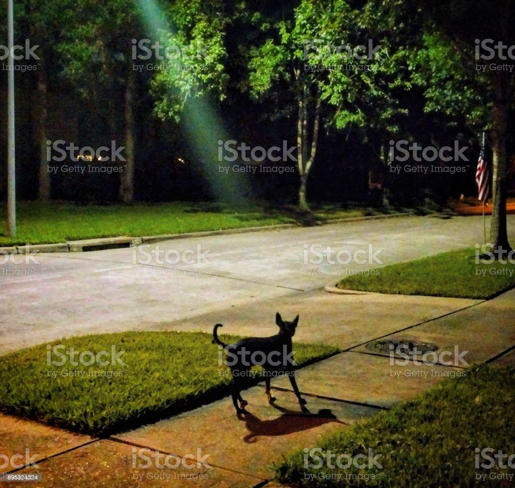 Dog Spotlit on Nighttime Sidewalk stock photo