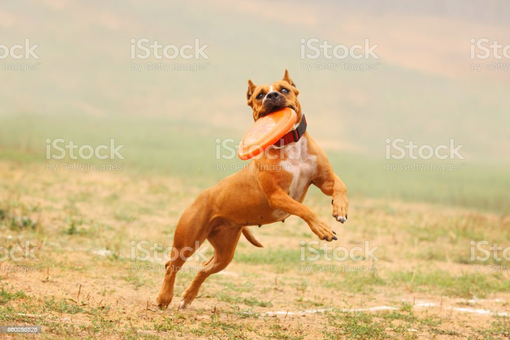 A dog Staffordshire Terrier runs after a frisbee in the field stock photo