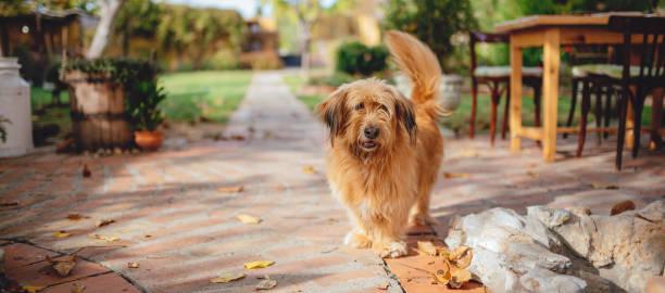 hond staande in achtertuin patio - dog looking at floor path stockfoto's en -beelden