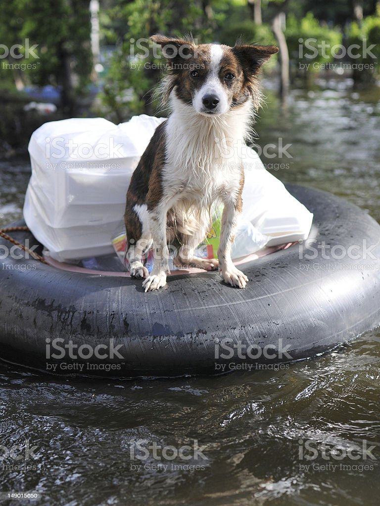 A dog standing in a life saver at a river royalty-free stock photo