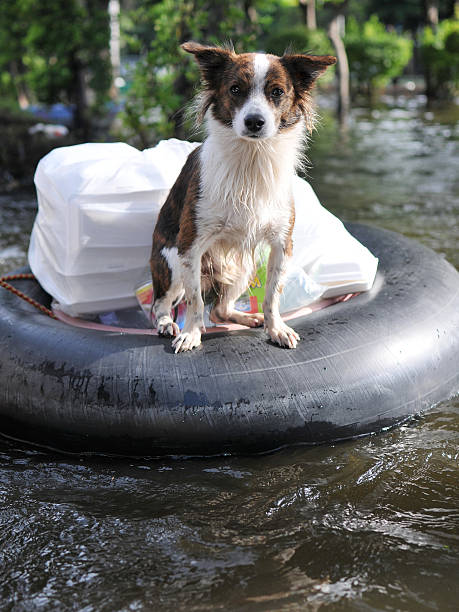 A dog standing in a life saver at a river stock photo