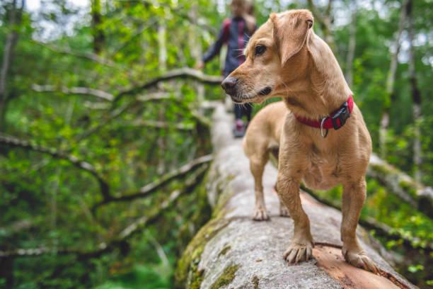 hunden står på en träd-logg - hund skog bildbanksfoton och bilder