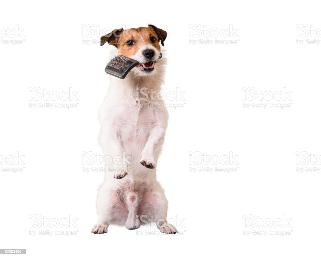 Dog standing on hind legs holding grooming brush in mouth stock photo