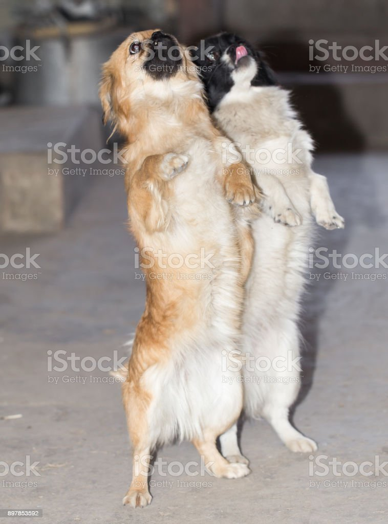 dog standing on his hind legs stock photo