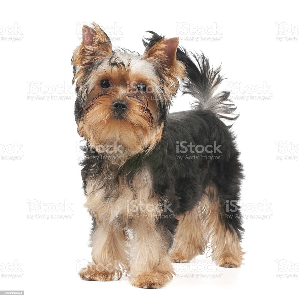 Dog standing on white royalty-free stock photo