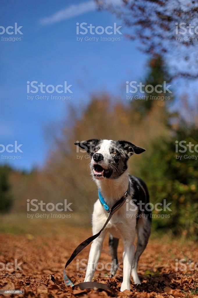 Perro playfuly de pie en un campo de otoño hojas secas - foto de stock