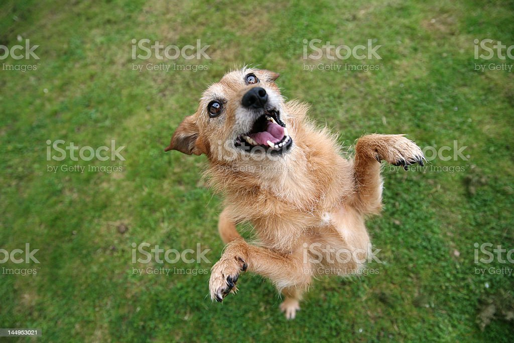 Dog standing with a happy smile royalty-free stock photo