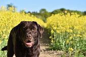 small black dog cane corso. black and white. photo