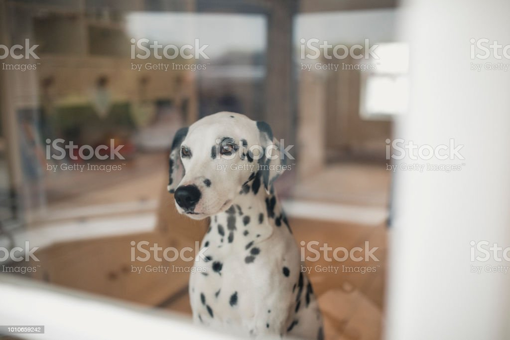 Dog Stares Out The Window stock photo