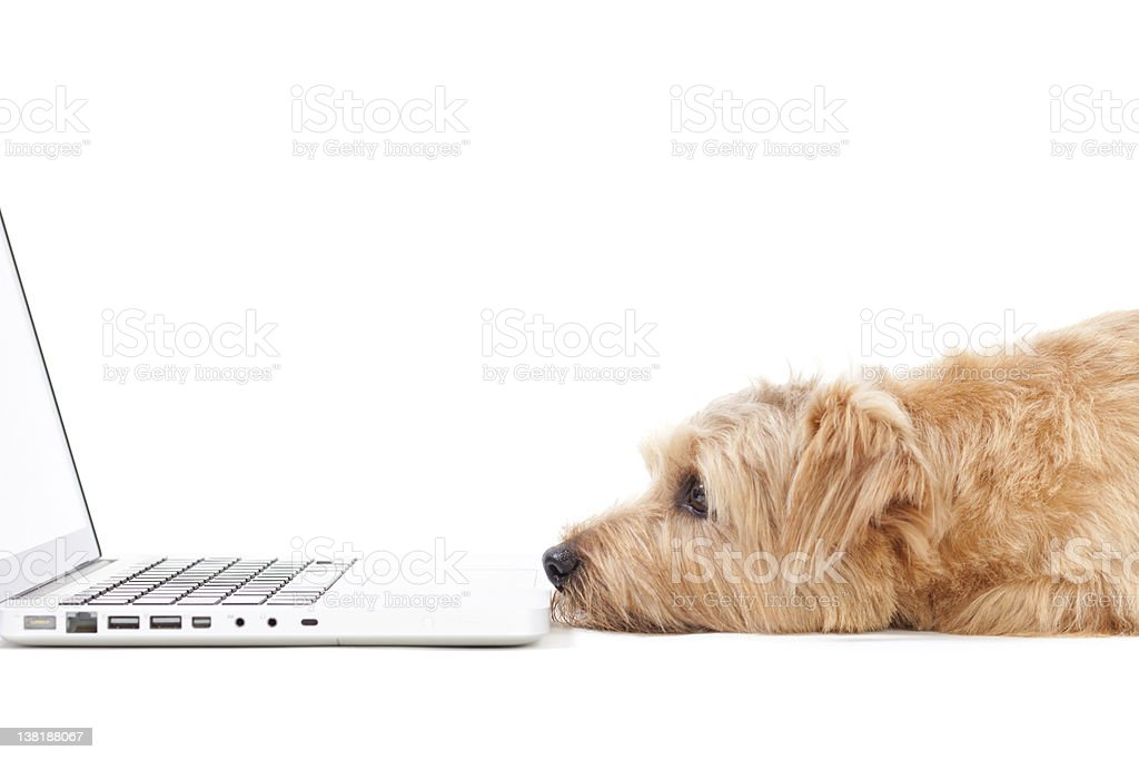 A dog staring at a computer's screen  stock photo