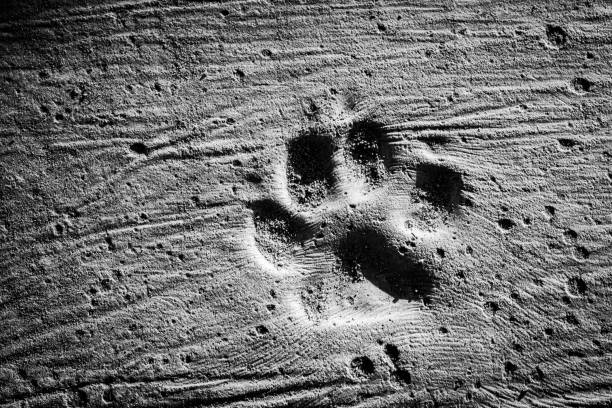 dog steps and footprints on earth - animal markings stock pictures, royalty-free photos & images
