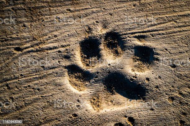 Dog steps and footprints on earth picture id1162943030?b=1&k=6&m=1162943030&s=612x612&h=ll7eellklvcxpmlpd3yvlcoicdujtpiqod44src69ng=