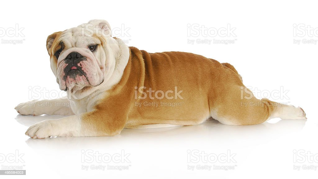 dog stretched out stock photo