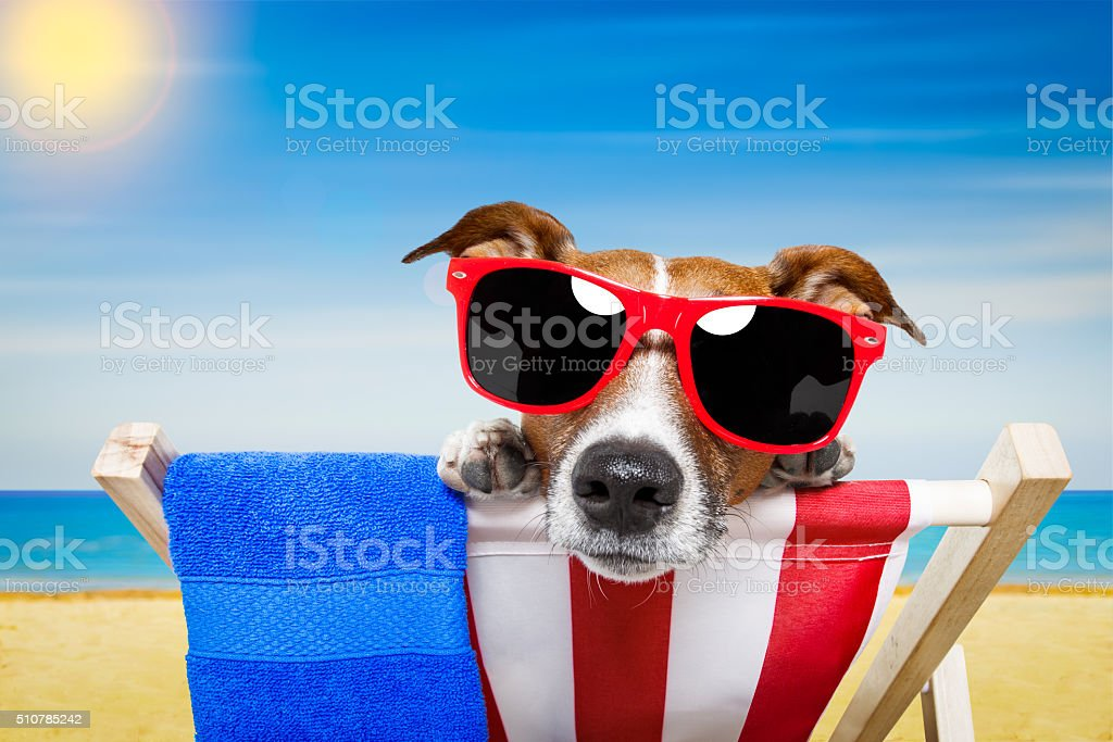 jack russell dog at the beach on a hammock , relaxing on summer...
