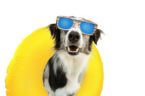 dog summer going on vacation inside of yellow inflatable float pool and wearing sunglasses. Happy expression. Isolated on white background.