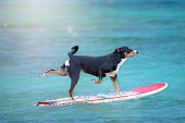 dog surfing on a surfboard at the ocean shore, Appenzeller Mountain Dog
