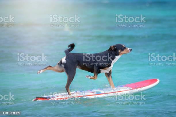 Dog surfing on a surfboard picture id1131628989?b=1&k=6&m=1131628989&s=612x612&h=bqjuuxvn8ub4yxhrl0e jgayblvp6d0waqhpeeb7ly8=