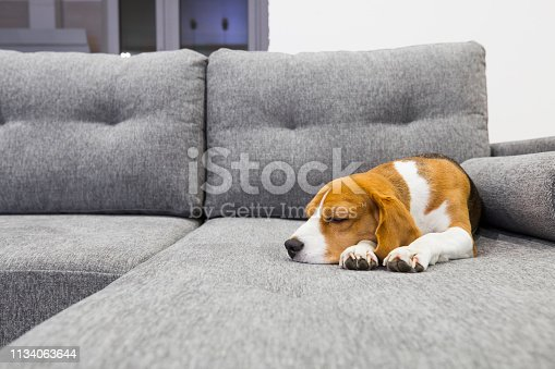 Beagle dog on cozy couch. Dog sweetly sleeping indoors.