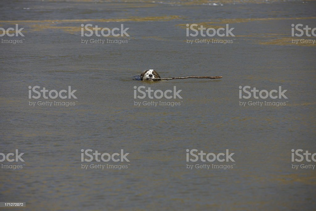 Dog Swimming in Water with Stick royalty-free stock photo
