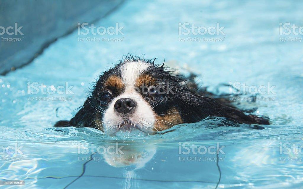 Dog swimming stock photo