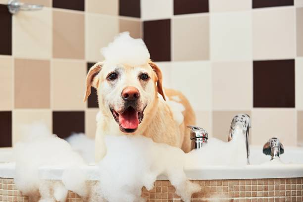 Dog taking a bath Bathing of the yellow labrador retriever. Happiness dog taking a bubble bath. bathtub stock pictures, royalty-free photos & images