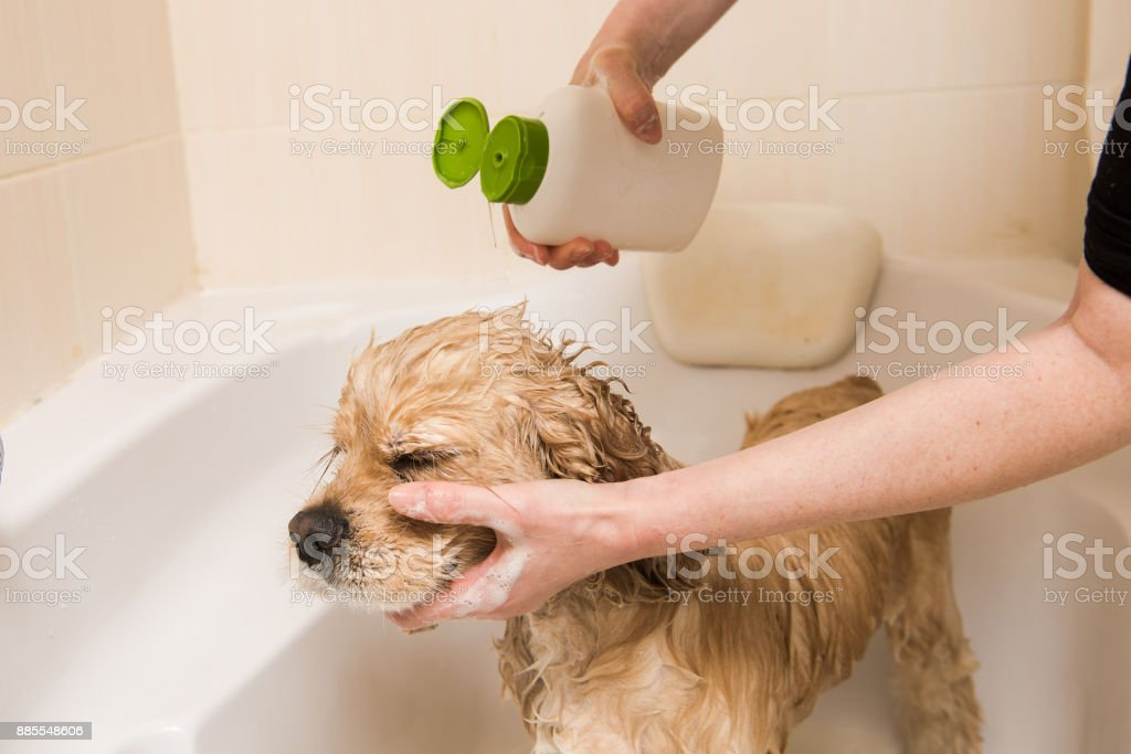 A dog taking a shower with soap and water stock photo