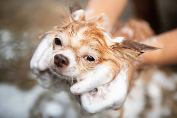 a dog taking a shower with soap and water,cleaning service - pet shop and dogs not cats stock pictures, royalty-free photos & images