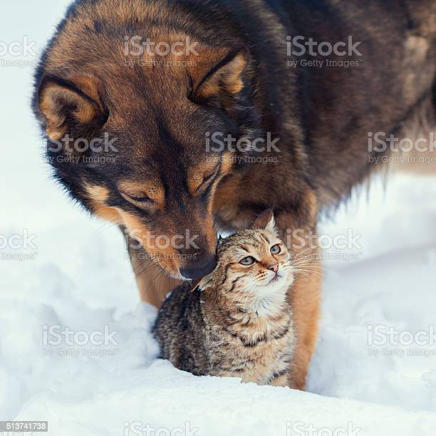 Dog taking care of the cat in the snow picture id513741738?b=1&k=6&m=513741738&s=612x612&h=4uoqjrz7sfffp7r8nhr4qz09wygcb0ecgnjhwcd2mt4=