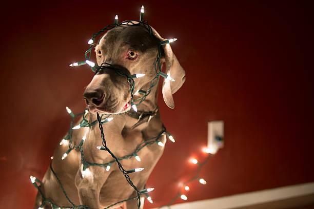 dog tangled in christmas lights stock photo