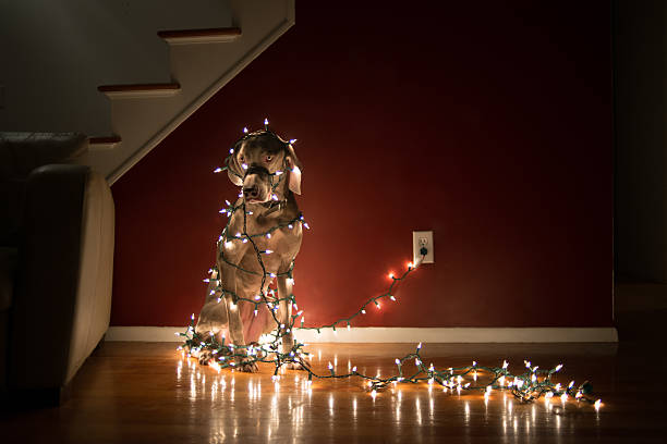 dog tangled in christmas lights - tangled stock photos and pictures