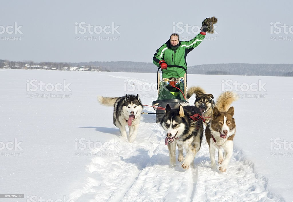 dog team at work stock photo