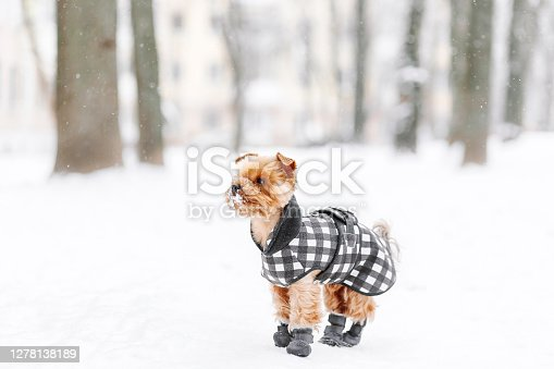 Yorkshire terrier in the snow wearing playing in the park on the snow. Winter time. Dog in coat and boots on white snowy background