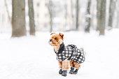 istock Dog terrier in winter coat 1278138189