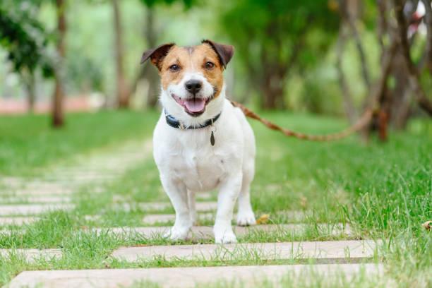 狗拴在服從類長線訓練皮帶 - 衣領 個照片及圖片檔