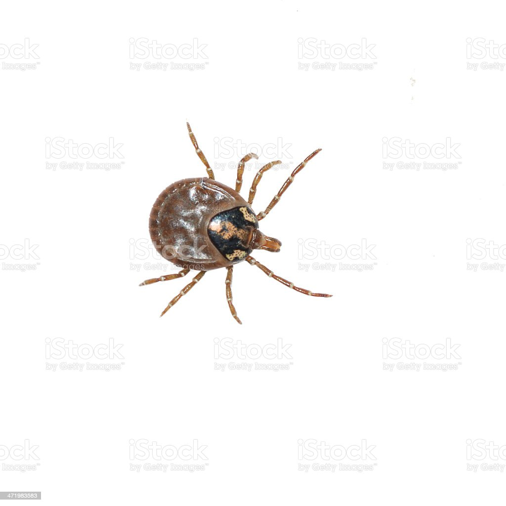 dog tick stock photo