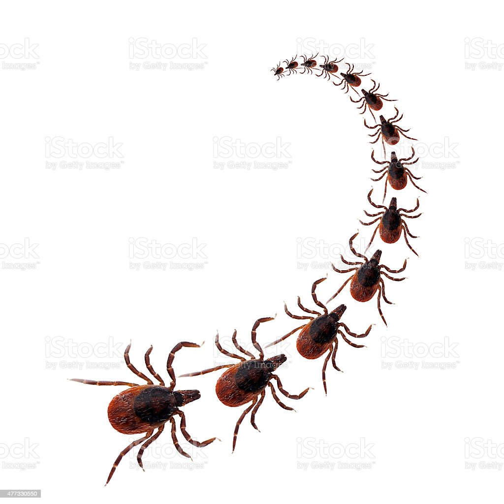 Dog tick procession over white background stock photo