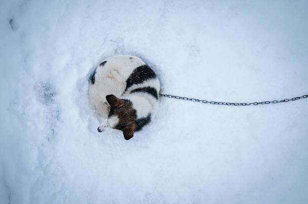 Perro en la nieve atada en ushuaia argentina - foto de stock