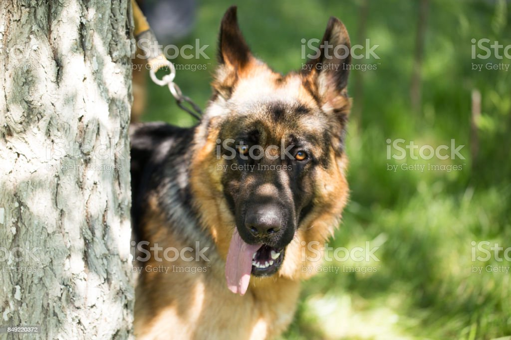 A dog tied to a tree in the open air stock photo