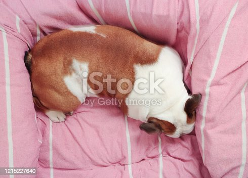 dog tightly fits in her bed