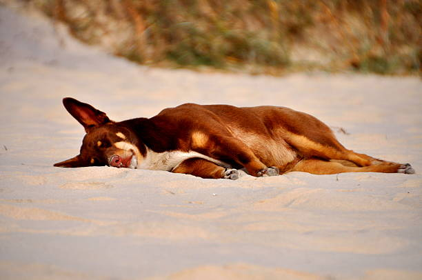 Dog Tired asleep on Beach stock photo