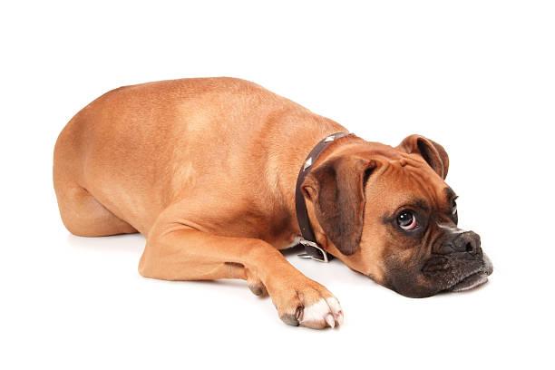 pies zmęczony - bokser pies zdjęcia i obrazy z banku zdjęć